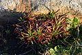 Armeria.maritima.subsp.californica.Alan.JPG