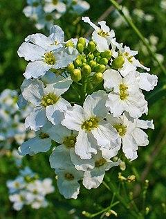 Armoracia rusticana - Wikipedia, la enciclopedia libre