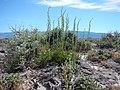 Artemisia nova (18864488136).jpg