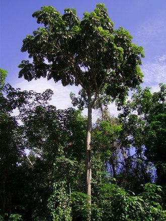 Artocarpus - Image: Arto aniso T 070203 mncg