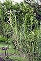 Arundina graminifolia 4zz.jpg