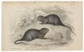 Arvicola amphibius - 1700-1880 - Print - Iconographia Zoologica - Special Collections University of Amsterdam - UBA01 IZ20500131.tif