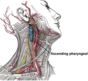Ascending pharyngeal artery - Superficial dissection of the right side of the neck, showing the carotid and subclavian arteries.