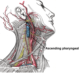 Inferior tympanic artery - Superficial dissection of the right side of the neck, showing the carotid and subclavian arteries