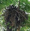 Asian Pied Starling (Sturnus contra)- Nest with Juvenile in Kolkata I IMG 8018.jpg