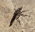 Asilidae (32555042215).jpg