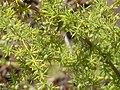 Asparagus stipularis Hojas 2010-8-15 SierraMadrona.jpg