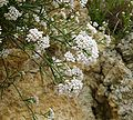 Asperula cynanchica 080608.jpg