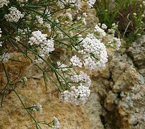 Asperula cynanchica 080608.jpg