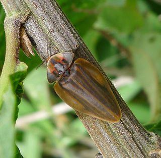 <i>Aspisoma</i> Genus of beetles