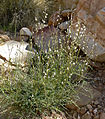 Astragalus remotus 1.jpg