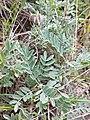 Astragalus vesicarius subsp. vesicarius sl4.jpg