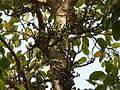 Aththi (Malayalam- അത്തി) (2442586695).jpg