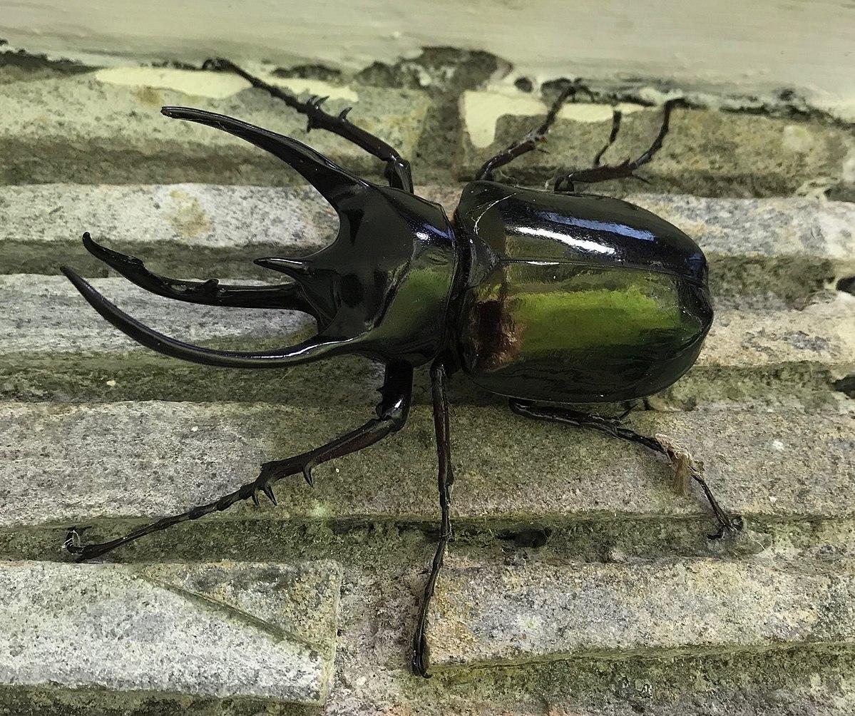 Giant Atlas Beetle Atlas beetle - ...