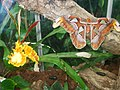 Attacus atlas-botanical-garden-of-bern 3.jpg