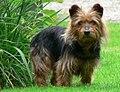 Australian Terrier.JPG