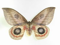 Automeris metzli - Wikipedia