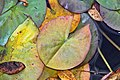 Autumn Lily Pad @ Boffins - September 23 2014 (15166849847).jpg