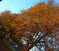 Autumnal Sutton Green, SUTTON, Surrey, Greater London (9).jpg