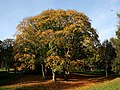 Autumnal Tree at Haden Hill Park - geograph.org.uk - 1078415.jpg