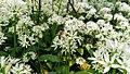 Bärlauch Blüte - Allium Ursinum.jpg