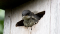 Baby tree swallow.png