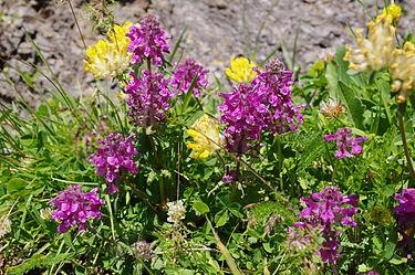 بيئة طبيعية 375px-Bachalpseeflowers