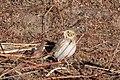 Baird's Sparrow Curly Horse Ranch Rd Sonoita AZ 2018-01-26 09-20-17 (26064294758).jpg