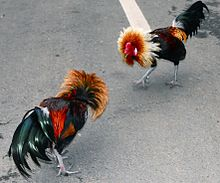Bali cocks fighting1.jpg