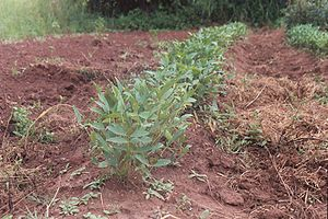 Vigna subterranea - Bambara plants in the field