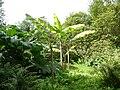 Banana at Harewood.jpg