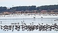 Banded Stilts and Red-necked Avocets (24200974520).jpg