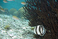 Banded butterflyfish Chaetodon striatus (4683410193).jpg