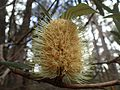 Banksia integrifolia subsp. monticola 02.jpg