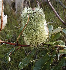 Banksia oblongifolia2 Georges River NP email.jpg