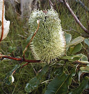 Description de l'image Banksia oblongifolia2 Georges River NP email.jpg.