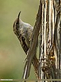 Bar-tailed Tree-creeper (Certhia himalayana) (30540394021).jpg