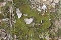 Barbula convoluta (a, 144703-474824) 7174.JPG