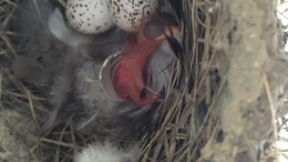Bestand:Barn Swallow Hatchling.ogv