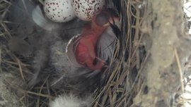 Fișier:Barn Swallow Hatchling.ogv