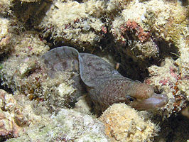 Barred Fin Moray, Bunaken Island.jpg