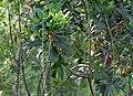Barringtonia acutangula (Freshwater Mangrove) in Hyderabad W IMG 8316.jpg