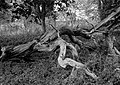 Basildon Park Twisted Tree (6320370192).jpg