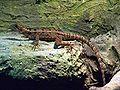 Basiliscus vittatus 01 ssj 20070506.jpg