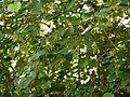Bauhinia malabarica (5070766137).jpg