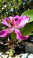 Bauhinia purpurea, Butterfly tree,.jpg