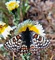 Bay checkerspot butterfly bay checkerspot butterfly.jpg