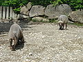 Bearded pigs DSC00994.JPG