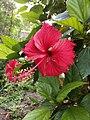 Becutiful Hibiscus Rose.jpg