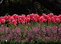 Bed of Tulips. (10435862566).jpg